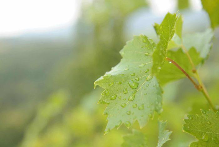 Weingut Steiermark Weinstock