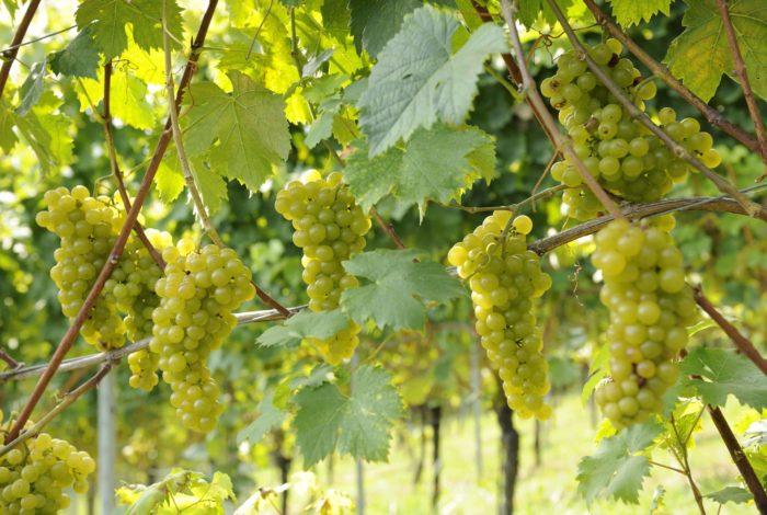 Weingut Steiermark Reben